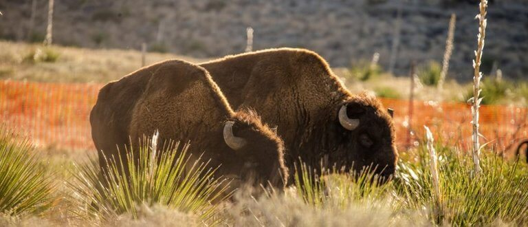 Two Bison Grazing